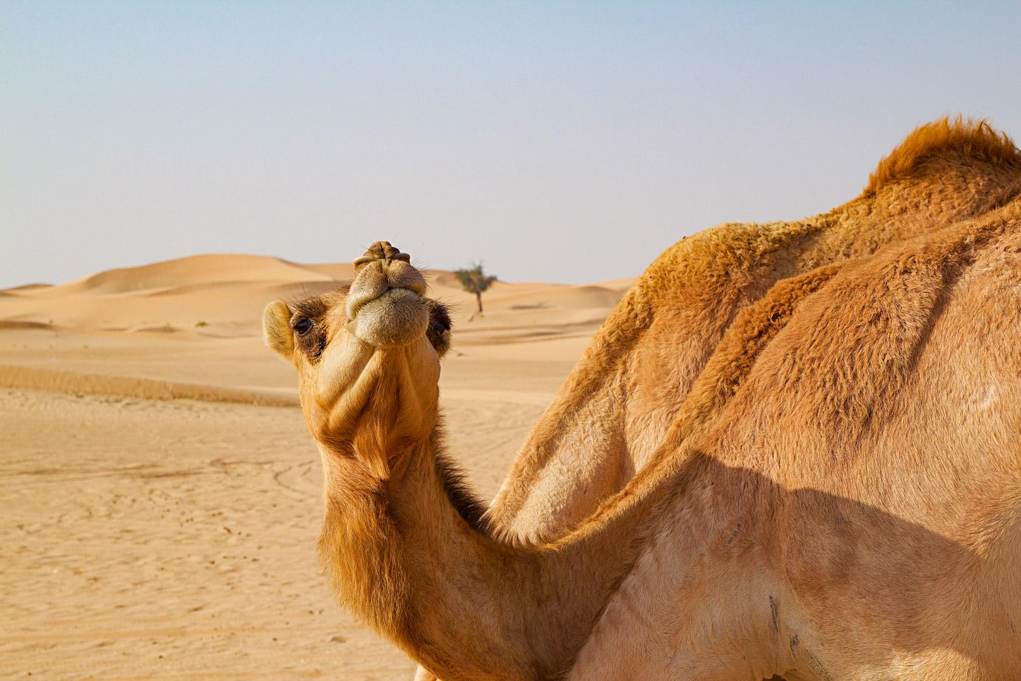 Een kameel in de woestijn van Abu Dhabi
